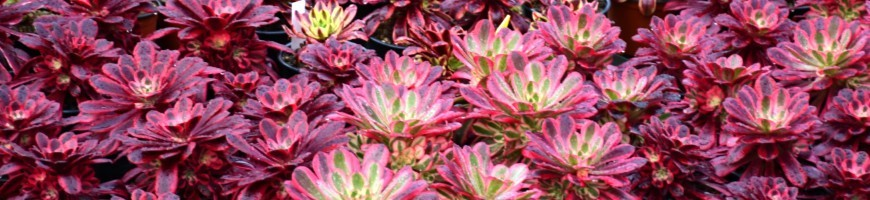 Les plus beaux hybrides d'aeonium sont proposés par la ferme botanique