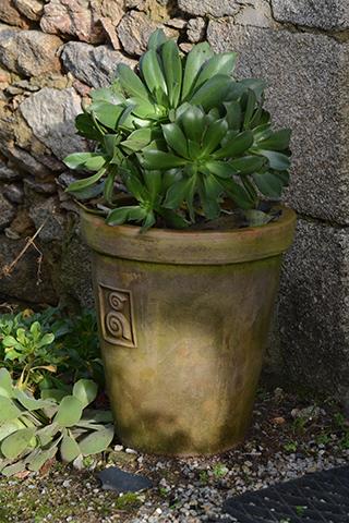Aeonium en pot