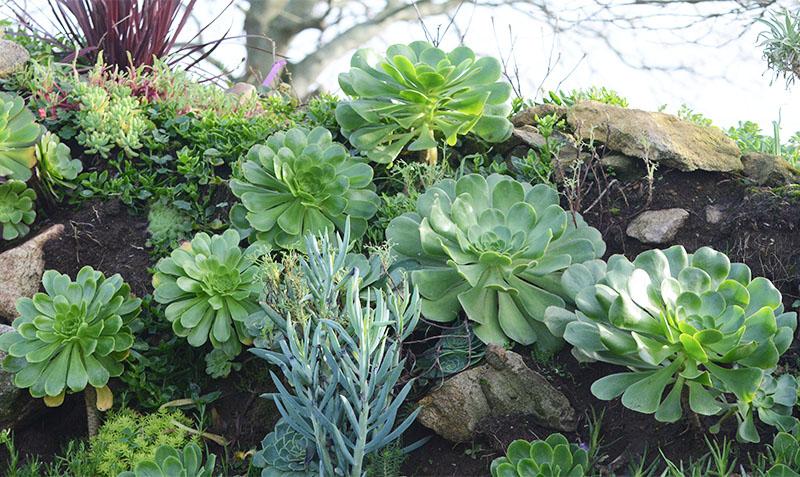 Quelques aeonium dans les jardins de la ferme botanique