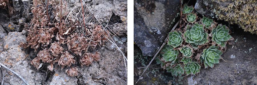 Aeonium simsii en été et automne