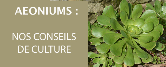 Aeoniums : nos conseis de culture