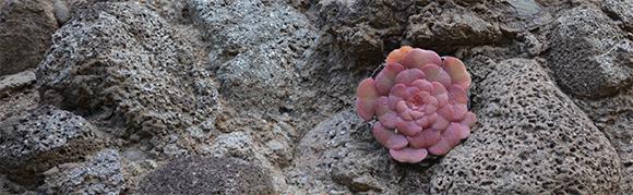 Aeonium en pleine terre