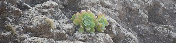 Aeonium gorgoneum sur une falaise